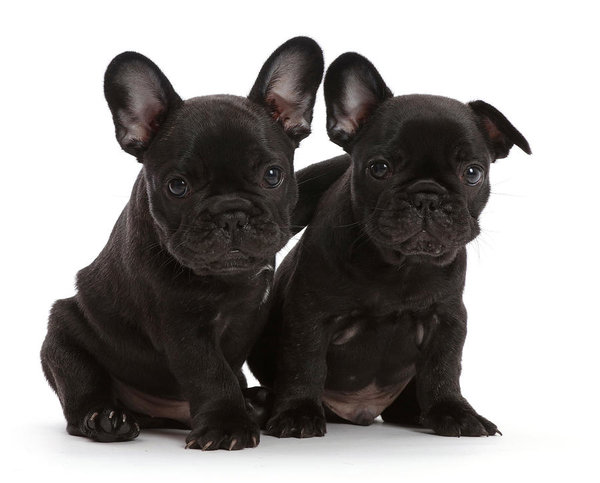 French Bulldog Blue French Bulldog Funny Bulldog Puppies French Bulldog Puppies