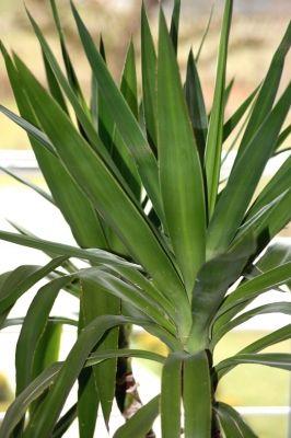 So Vermehren Sie Ihre Yucca Palme Yucca Palme Pflege Cactus