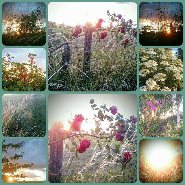 En härlig kväll! #Visingsö #solnedgång  #rosor #vinbär #fläder #vindstilla