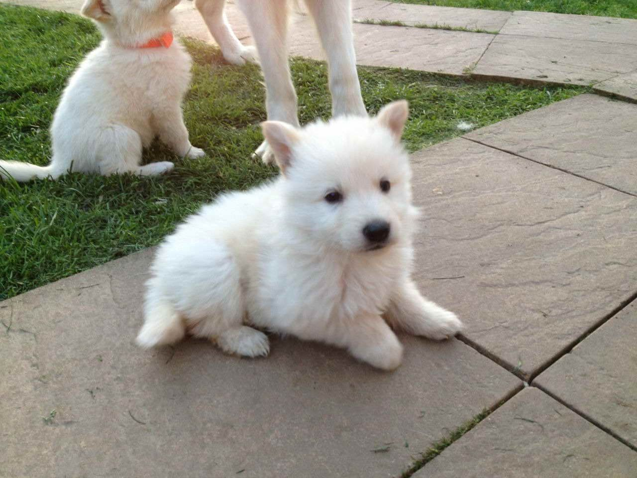Albino German Shepherd Puppies For Sale Shepherd Puppies