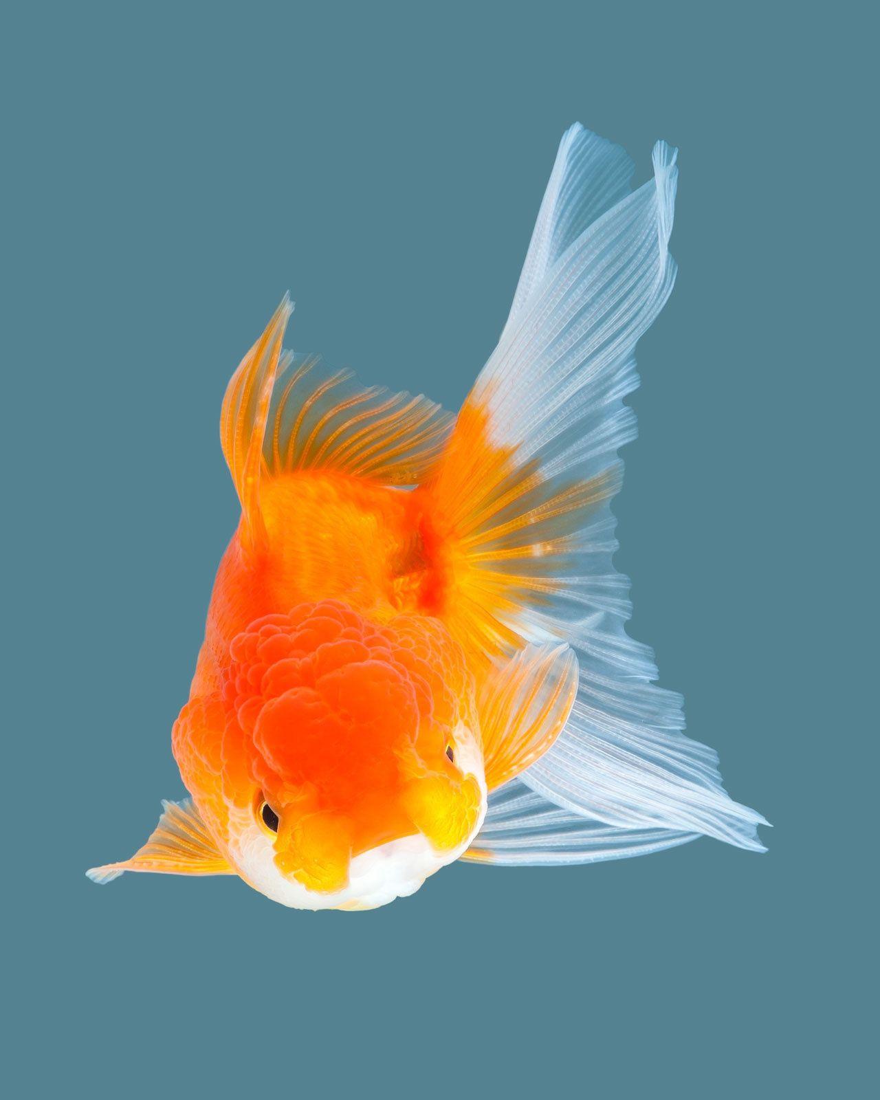 Oranda Goldfish Oranda Goldfish Goldfish Goldfish Aquarium