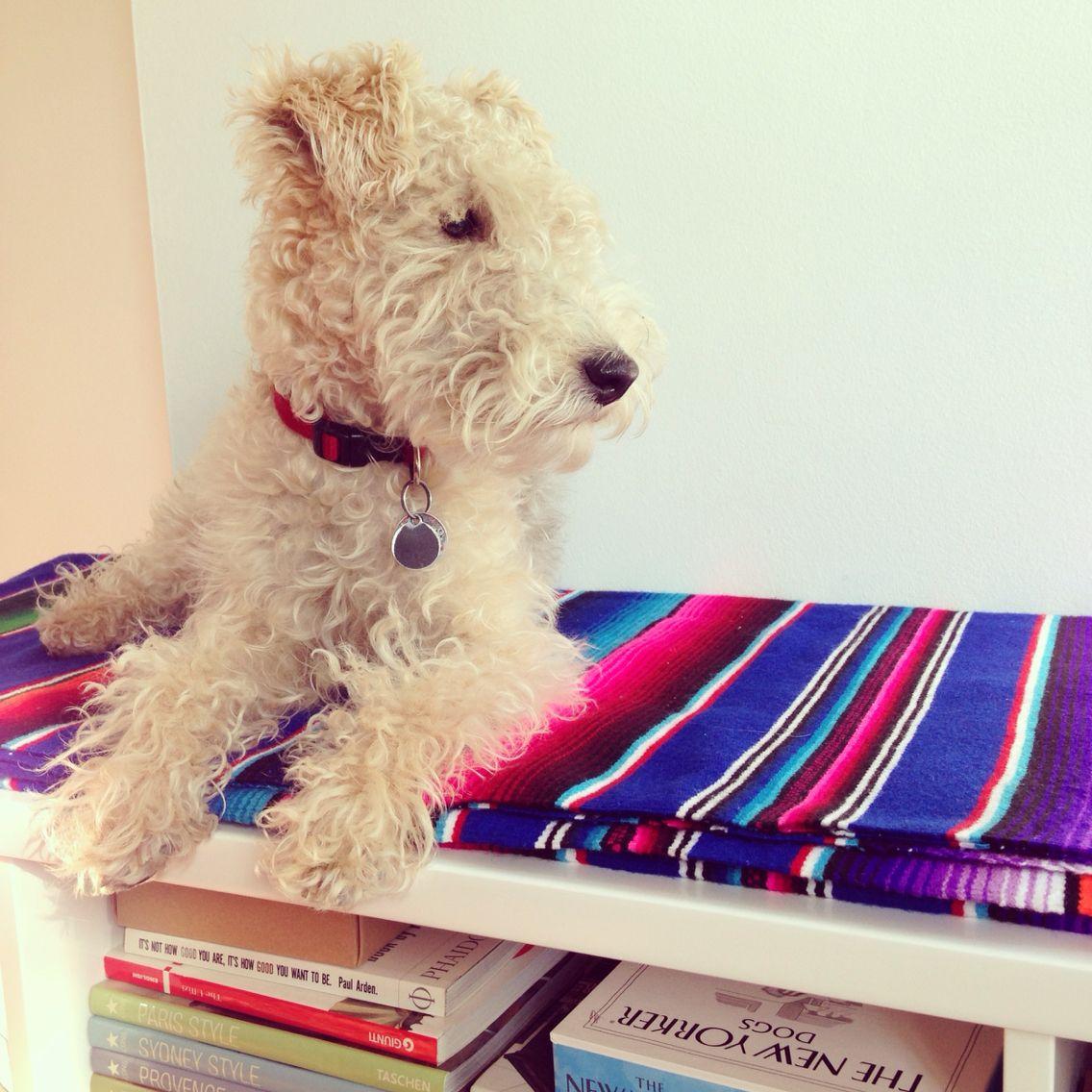 Frida the Lakeland Terrier... | Pups | Pinterest | See best ideas ...