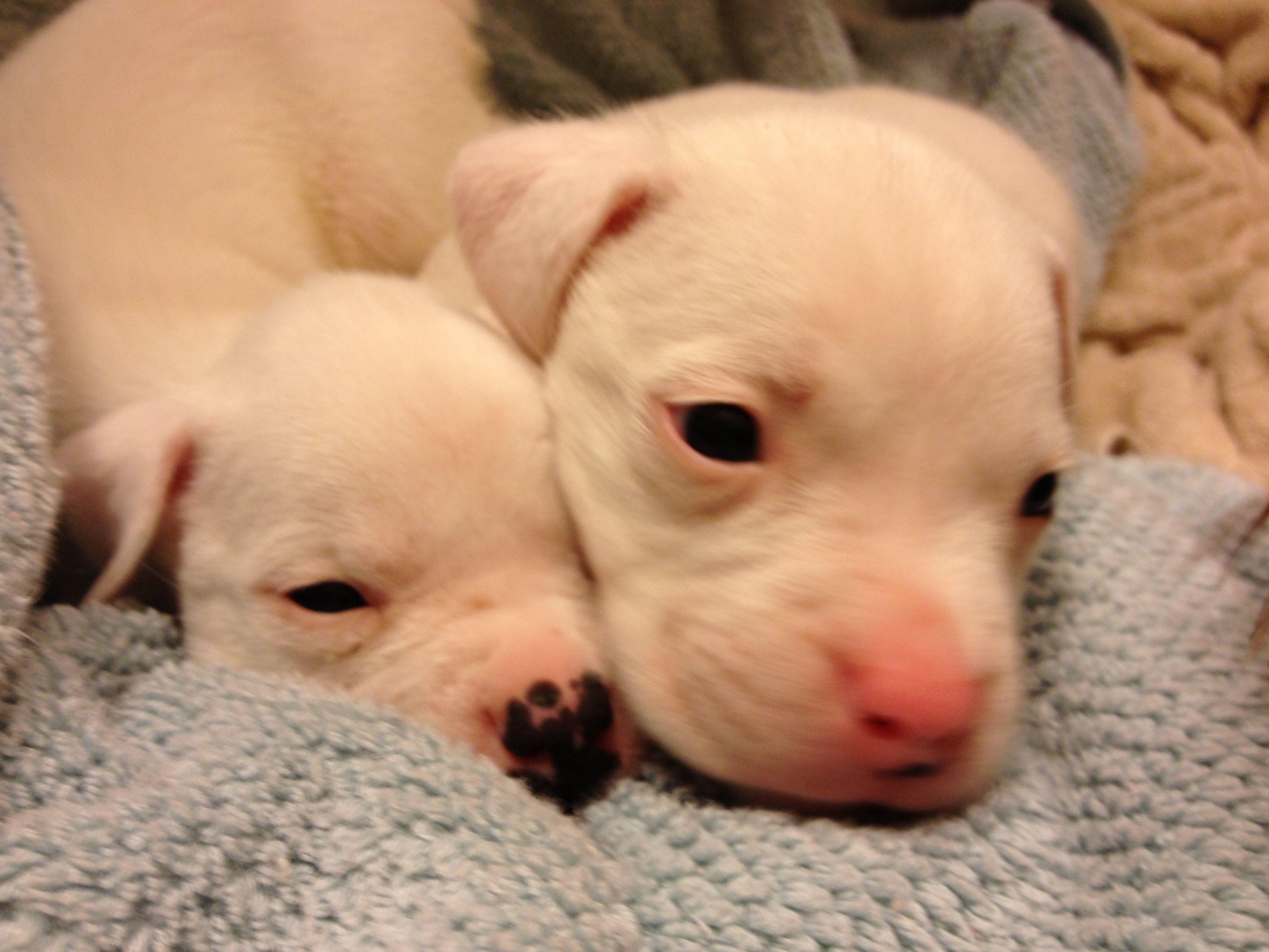 American bulldog puppies dream home pinterest american