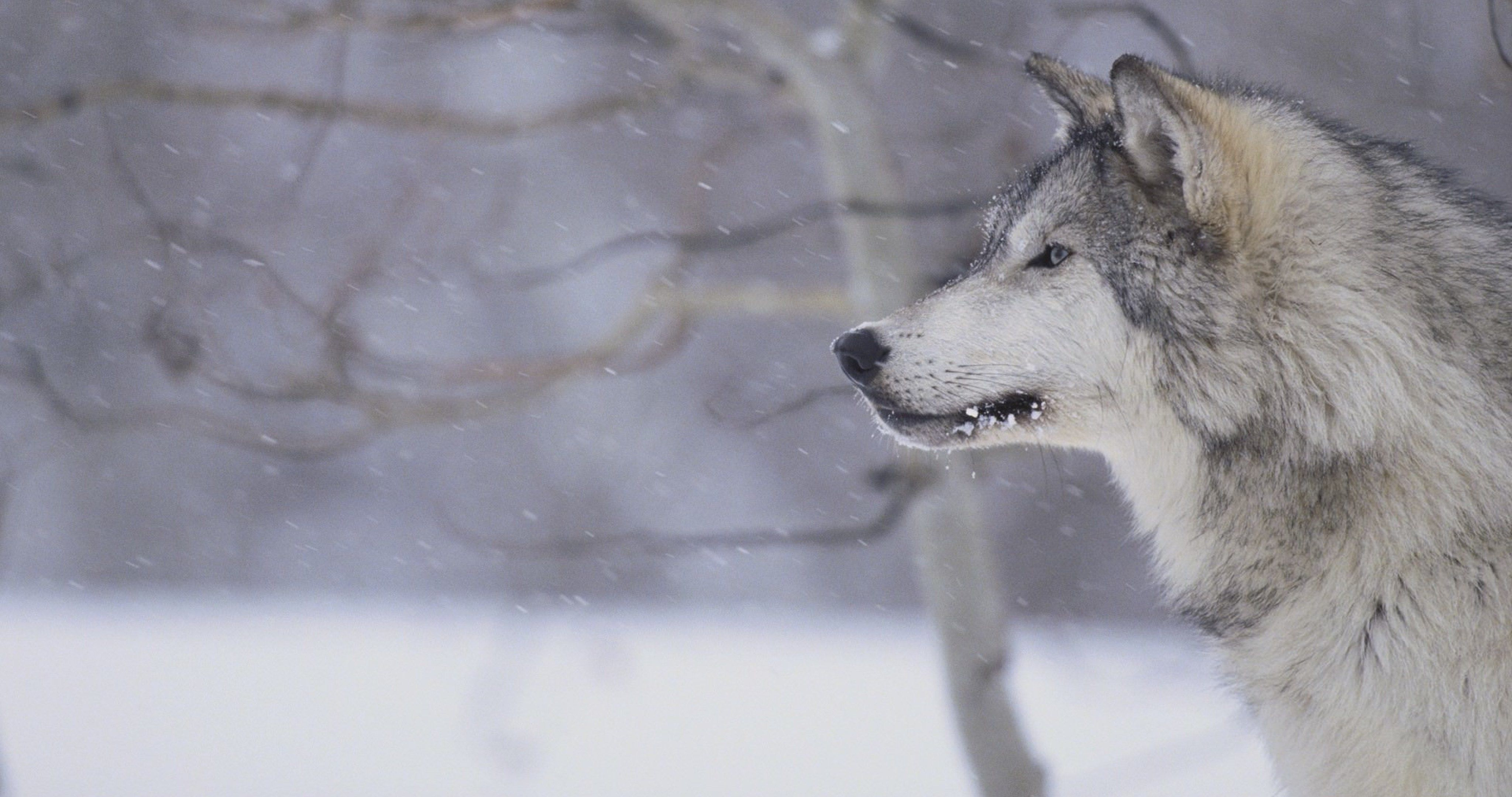 Wolf Winter Wallpaper Hd 4k Ultra Hd Wallpaper Grey Wolf Beautiful Wolves Wolf Photos