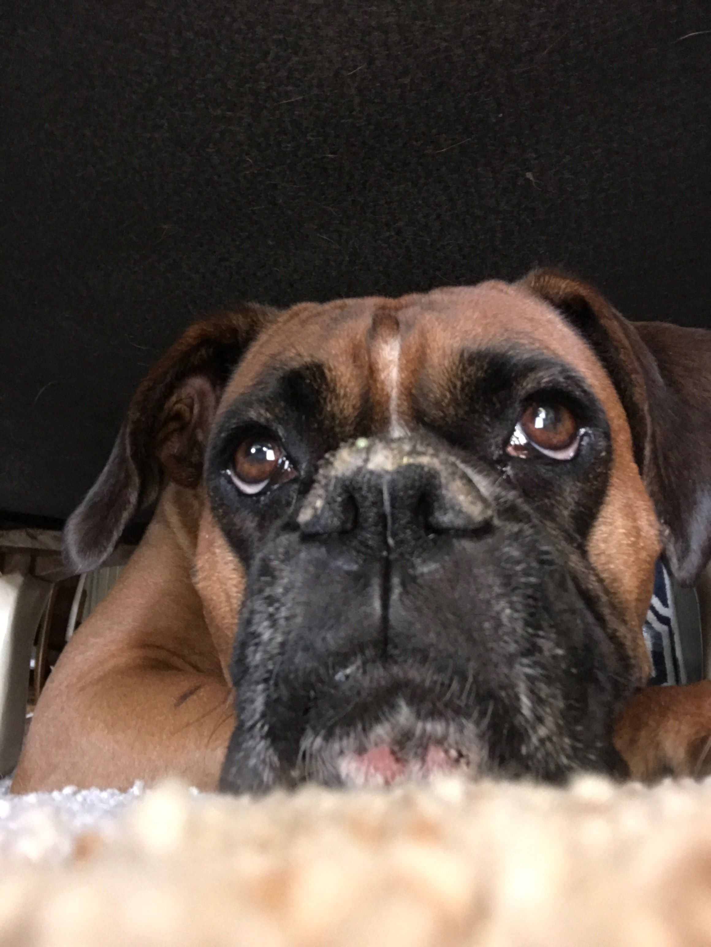 Boxer Dogs Boxer The Stocky Middleweight Sportsman Of Dogdom
