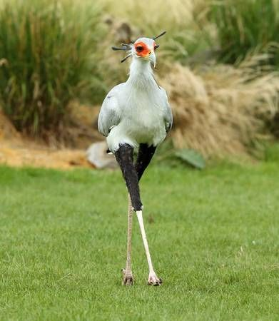 Male Secretary Bird