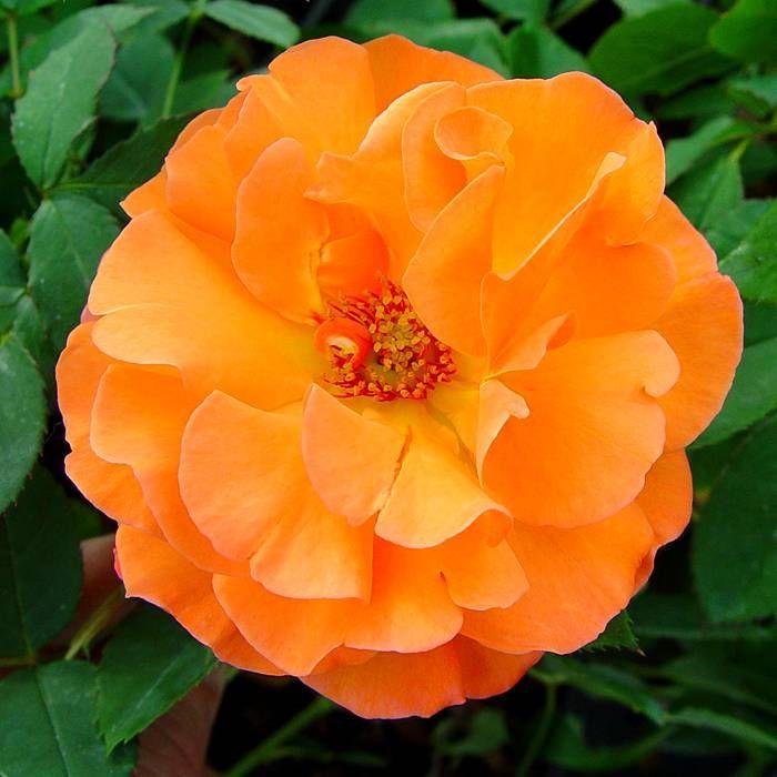 плетистая роза метанойя фото лучше