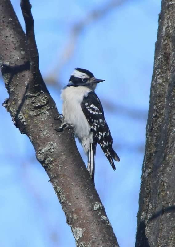 Shutterfly   Backyard birds, Downy woodpecker, Michigan ...