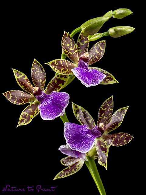 kunstdruck oder leinwandbild bl tenrispe einer zygopetalum orchidee vor schwarz black. Black Bedroom Furniture Sets. Home Design Ideas