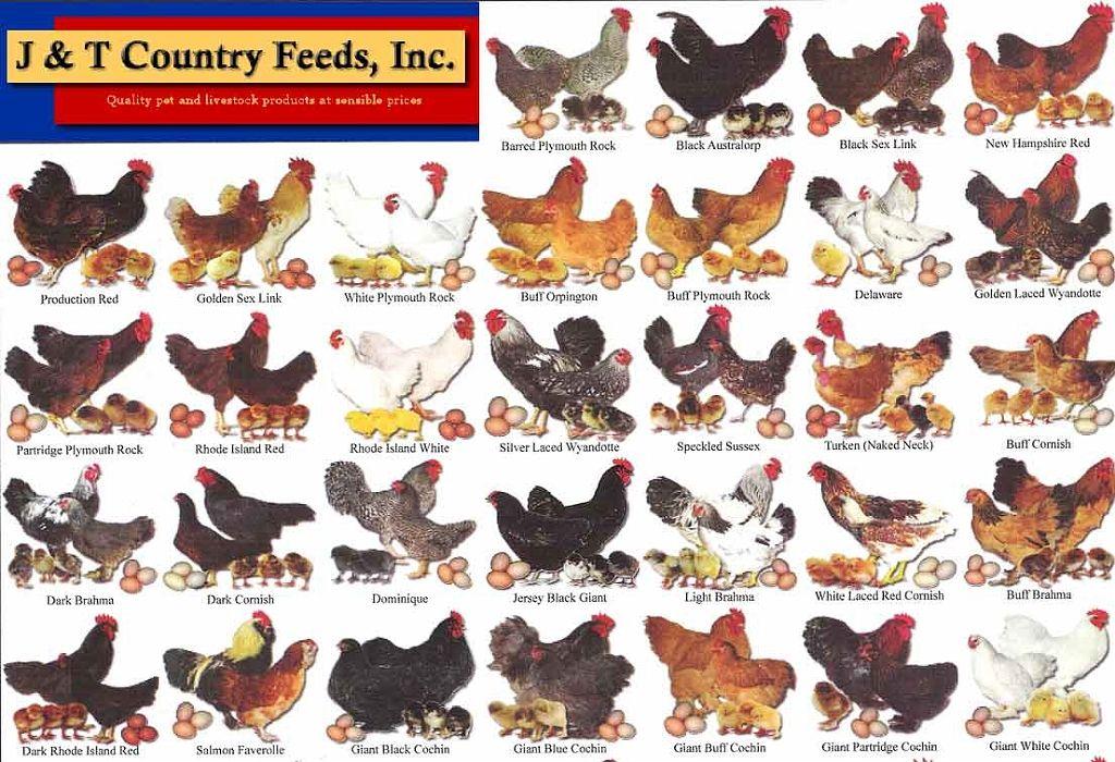 Standard breeds chart1 animal antics pinterest coops