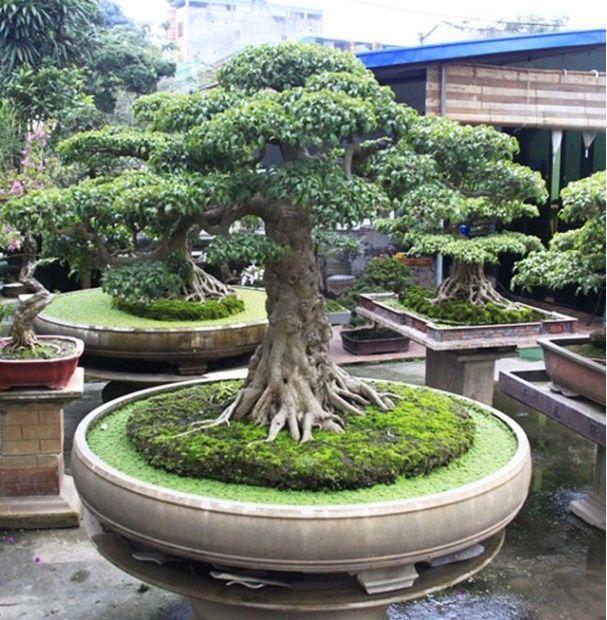 Pin By Jan Vandervort On Bonsai Big Bonsai Garden