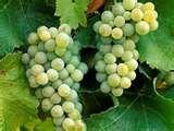 35 - 6000(aC)  - Existen algunos indicios que se comienza a cultivar uvas en la región de Mesopotamia.