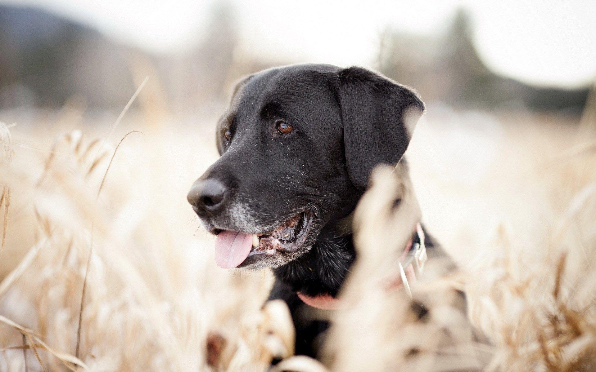 Looking Around Dog Black Field Focus Hd Wallpaper Wallpapersme Labrador Dog Dog Wallpaper Dogs