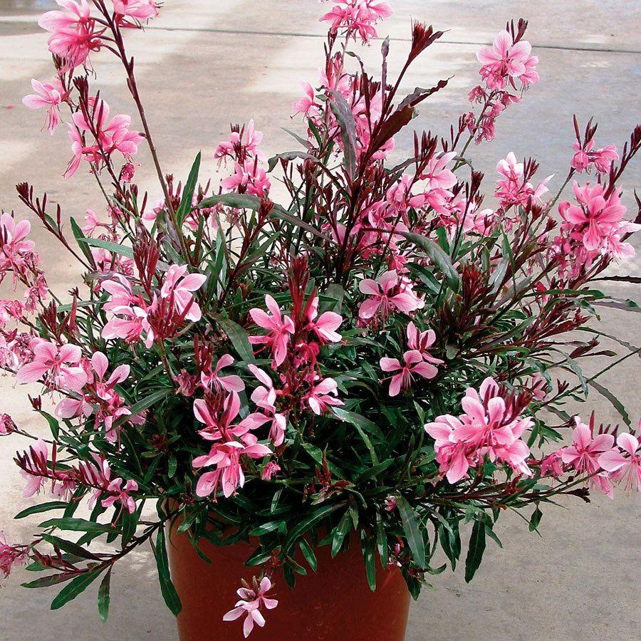 Passionate blush gaura wand flower plant garden ideas pinterest passionate blush gaura wand flower plant mightylinksfo