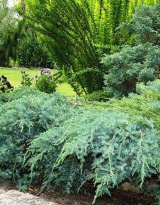 Juniperus Squamata Blue Carpet Havlis Cz Juniperus Squamata Blue Carpet Plants