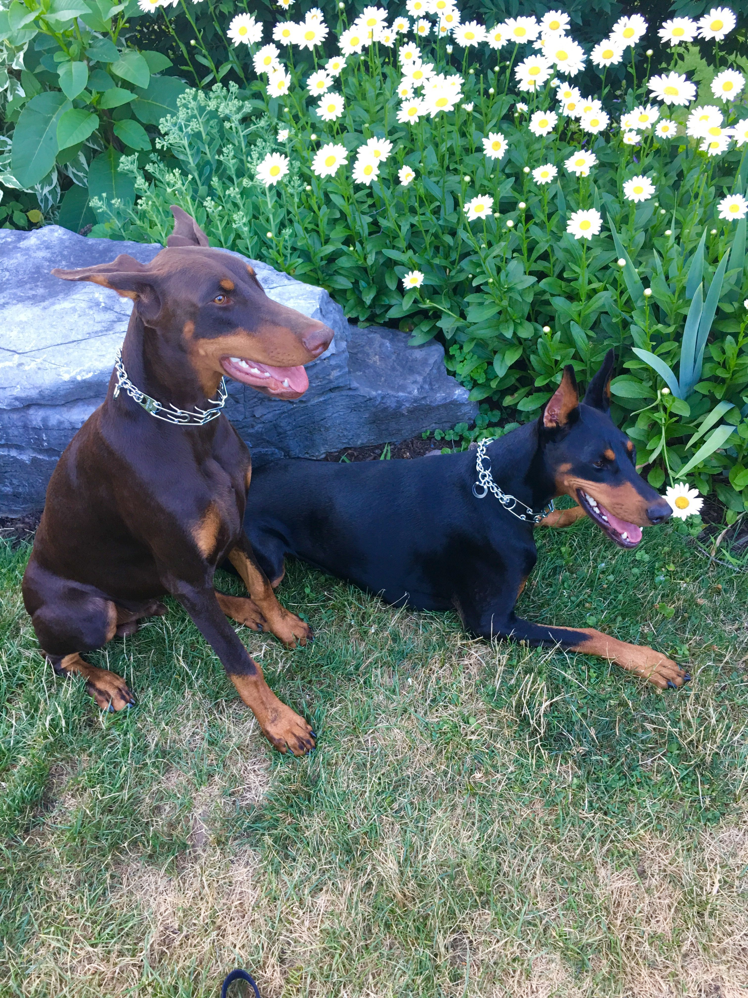 Taking A Rest At The Park Dobermanpinscher Doberman Dogs