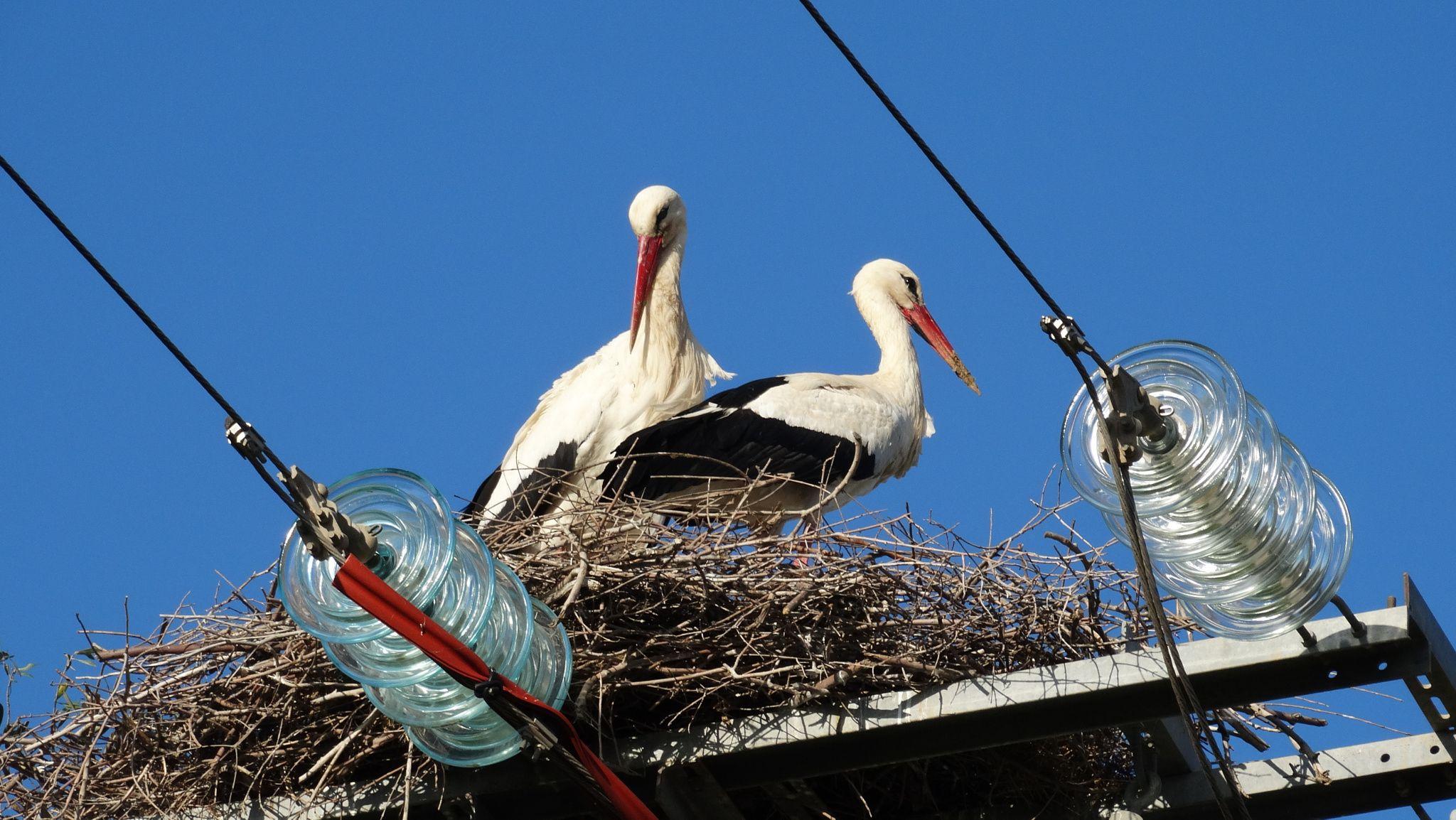 Pair of storks - null