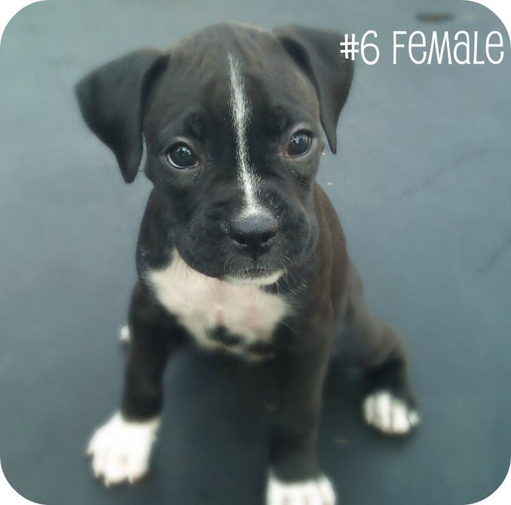 Pin by PHOTOS ARE US ! on MY LOVE FOR BOXERS!! Black