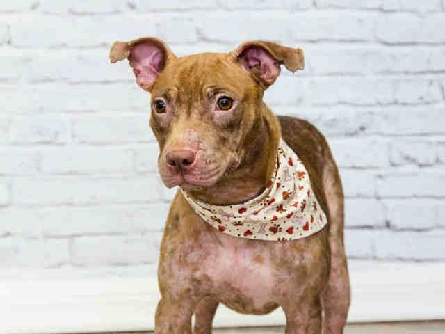 Yaya A1687318 I Am A Female Brown And White Terrier Mix The Shelter Staff Think I Am About 6 Months Old And I Weigh 15 Poun Dog Adoption Terrier Mix Animals