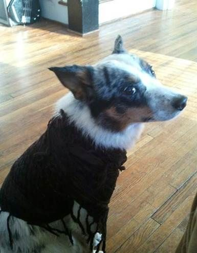 Lost Dog Have You Seen Banjo Losing A Dog Dogs Cattle Dog