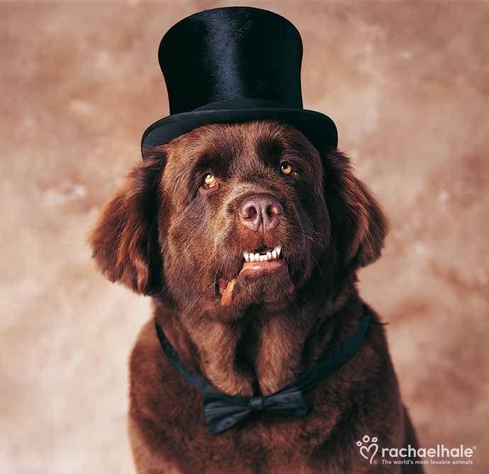 Henry Newfoundland Dapper Dogs Dog Top Newfoundland