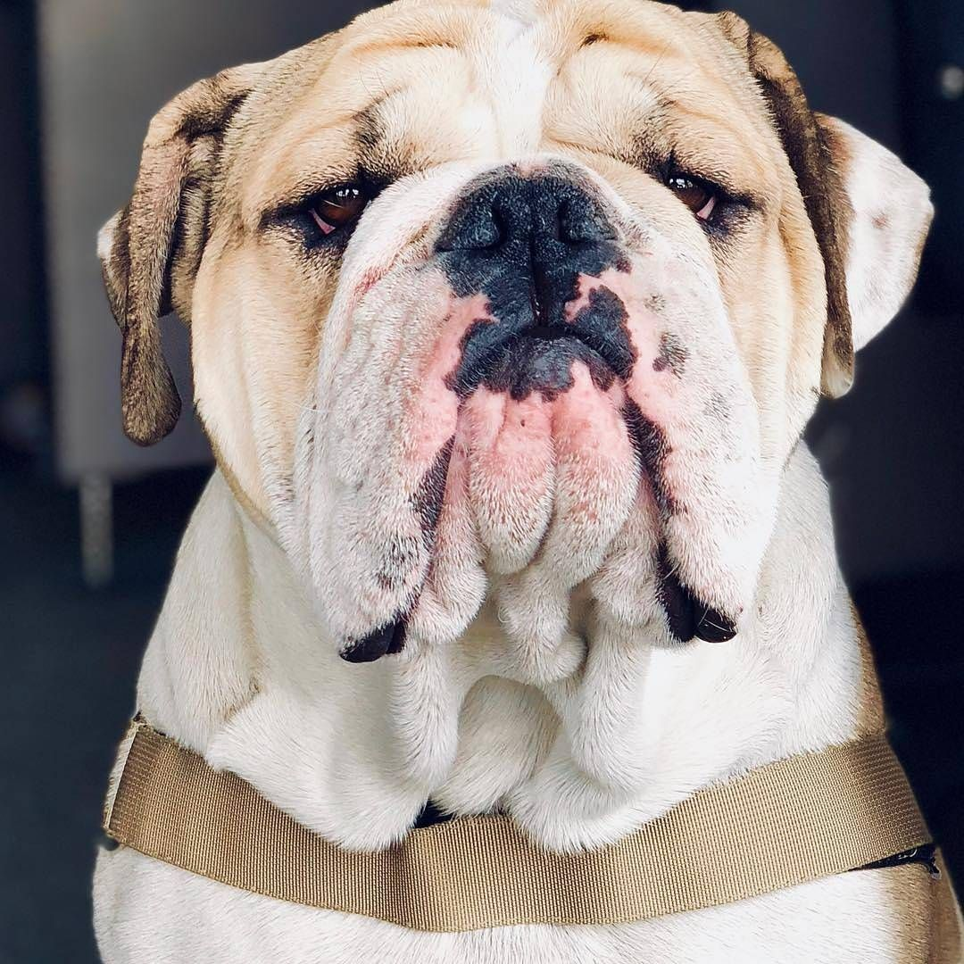 This grumpy English Bulldog is not amused with your 'diet