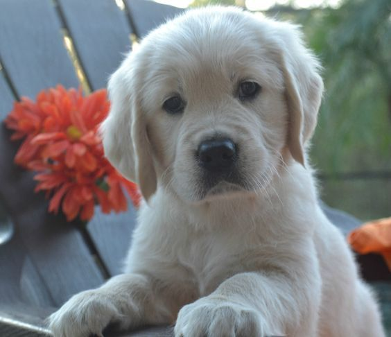 English Cream Golden Retriever Any Thing About Dogs Retriever