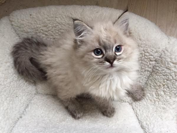 Wunderschones Ragdoll Kitten Katzen Kittens Cutest Pretty Cats Cute Cats