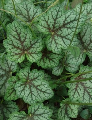 North Creek Nurseries Heuchera Americana Dale S Strain
