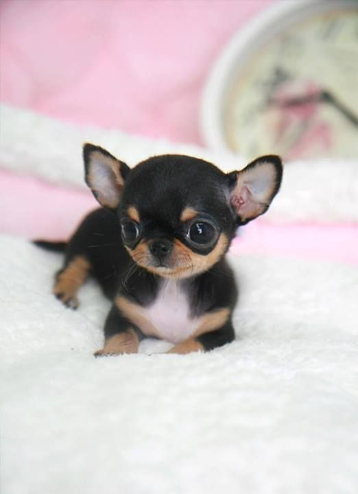 Too Cute To Be Real Yea I Get That A Lot Chihuahua Baby