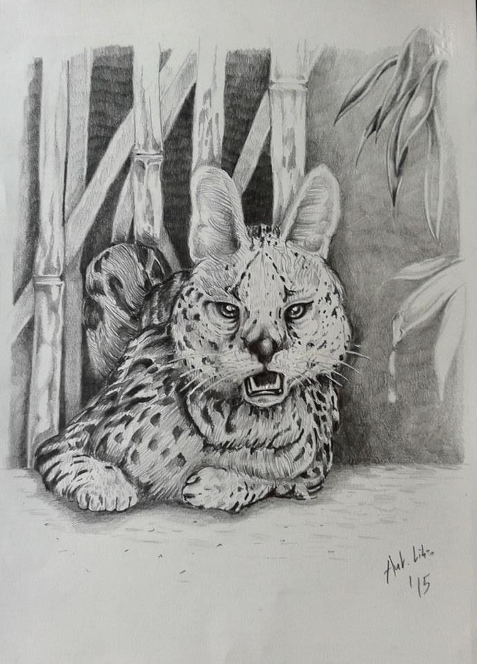 Drawing Pencil Serval Wild Animals