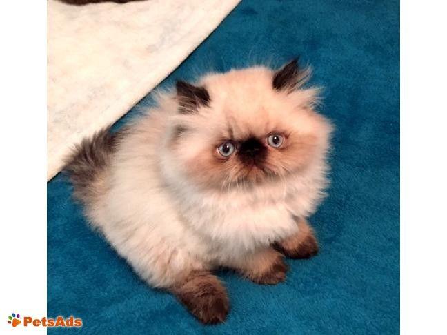 Chester, Virginia, United States | Stuff to Buy | Himalayan kitten