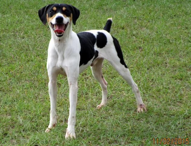 Adopt 2040 Cricket On Cricket Dogs Cricket Today