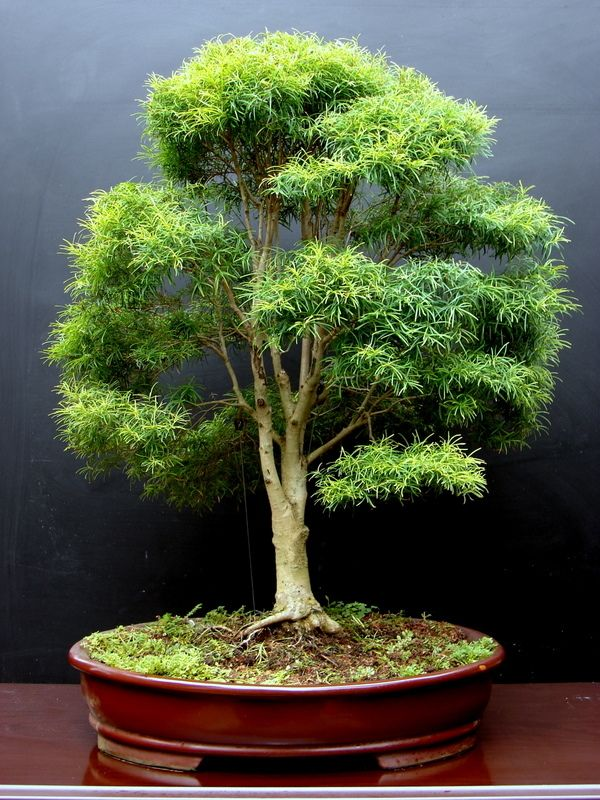 Bonsai bonsai pinterest bonsai bonsai baum und for Bonsai pflanzen