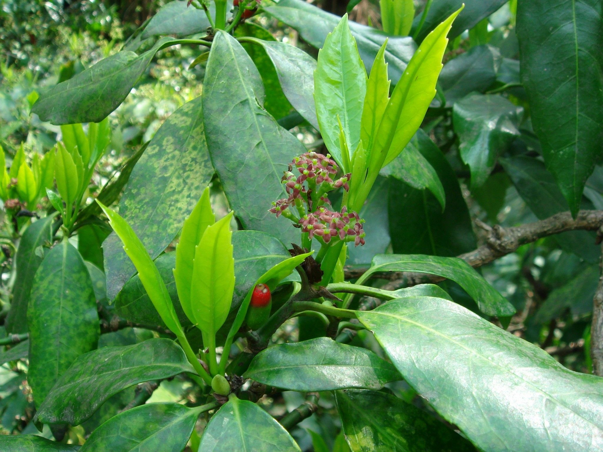 Aucuba japonica cornaceae pinterest