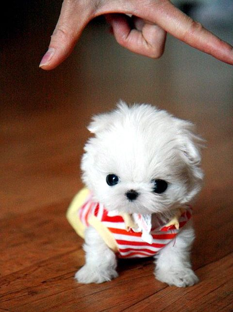 Dogs That Stay Small And Don T Shed Cuteies Pinterest