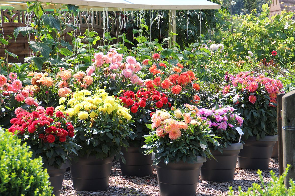 Prachtige Kubelpflanzen Fur Den Sommer Sperli Kubelpflanzen Pflanzen Garten