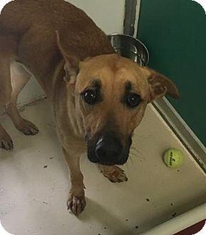 Bryan, TX - Shepherd (Unknown Type)/Black Mouth Cur Mix. Meet , a dog for adoption. http://www.adoptapet.com/pet/15197506-bryan-texas-shepherd-unknown-type-mix