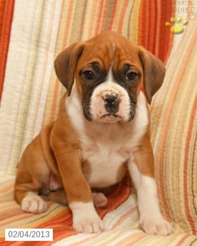 Louisiana Boxer Puppy For Sale In Middleburg Pa Boxer Puppy