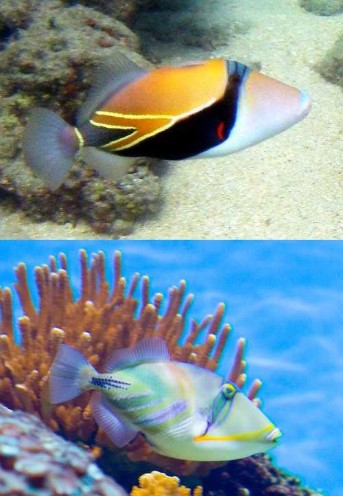 This Uniquely Colored Patterned Fish Is Known With Several Common Names Reef Triggerfish Rectangular Triggerfish South Pacific Islands Fish South Pacific