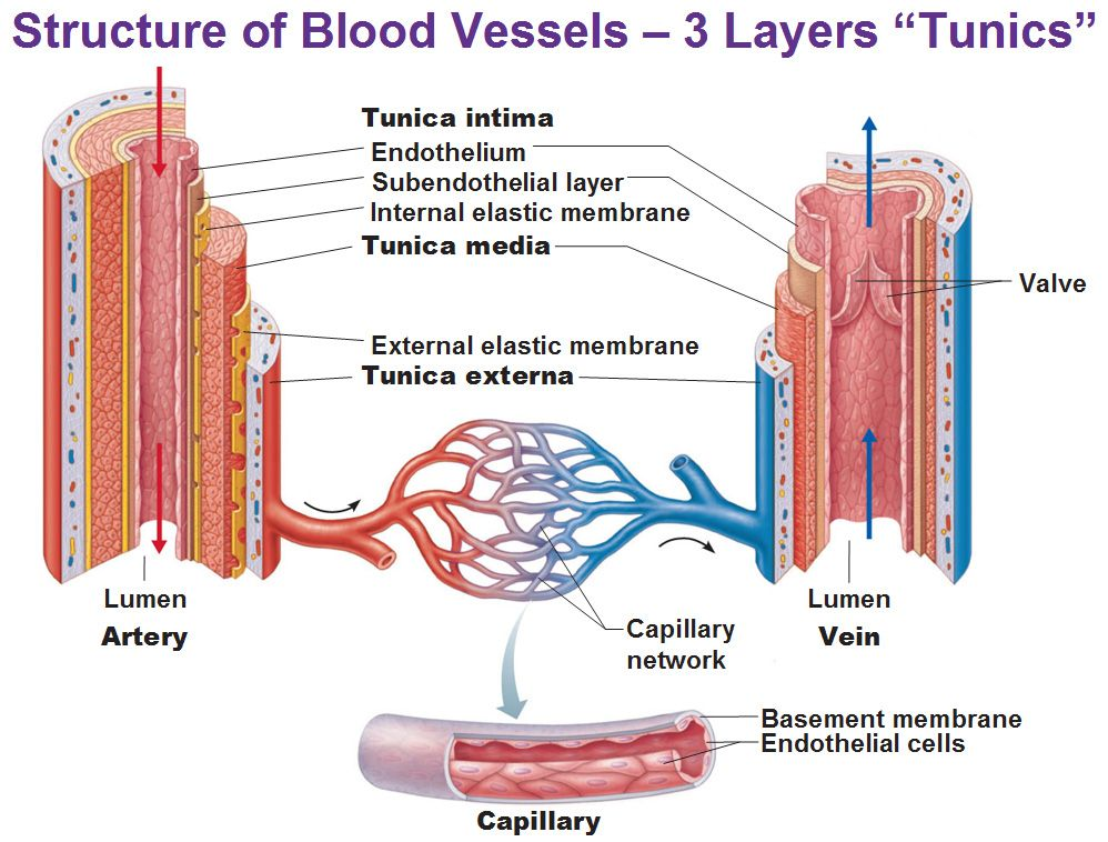 Structure Of Blood Vessels 3 Distinct Layers Tunics That Surround