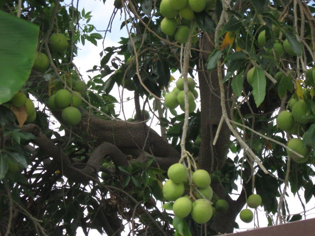 Mature loganberry tree sale florida