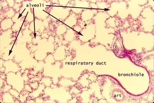alveoli labeled | Anatomy and Physiology Lab Exam II | Pinterest