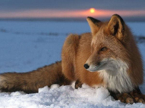 Beautiful red fox in the snow