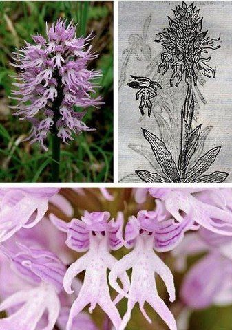 Orchis Italica (naked man orchid)