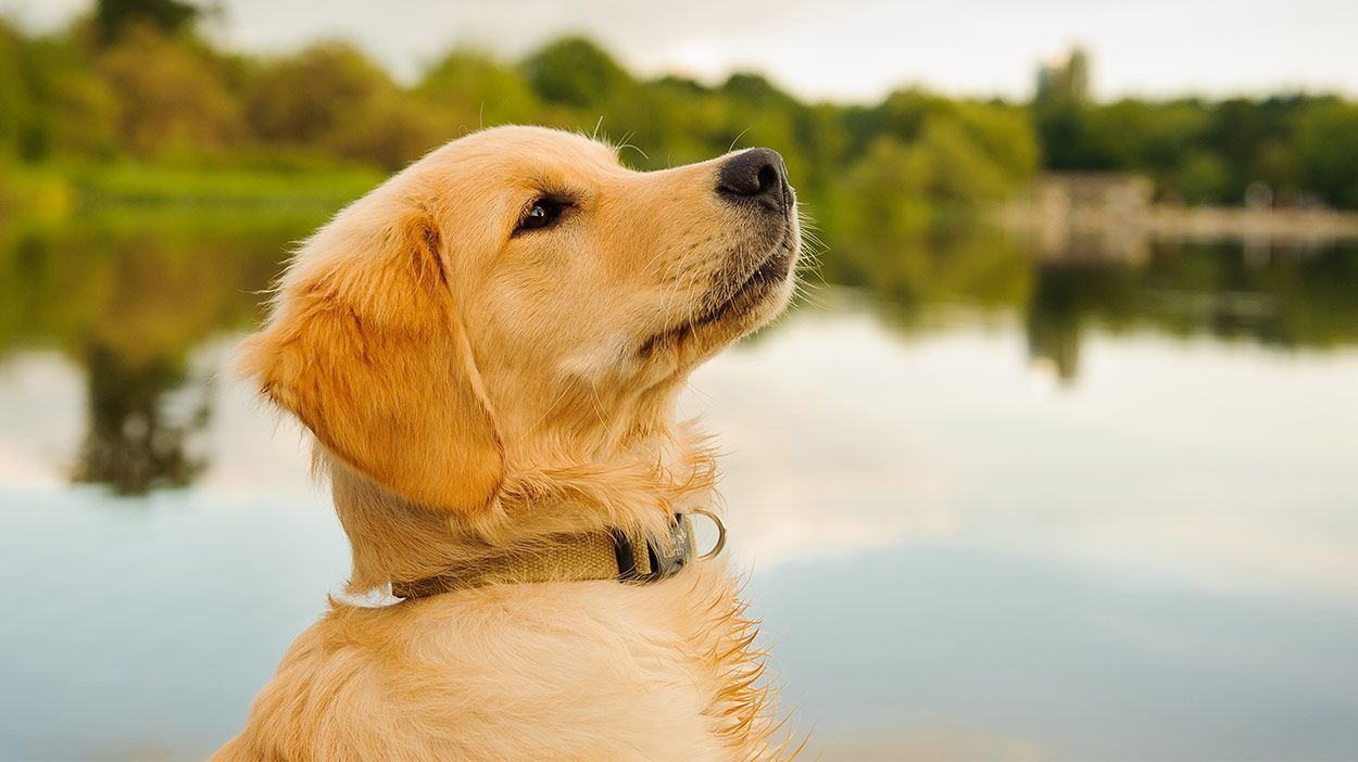 If You Re Looking For The Best Food For Golden Retriever Puppies