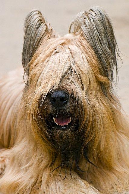 Dogsandpupsdaily Briard Dog Briard Dog Breeds