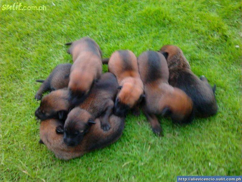 Belgian Malinois Puppies Belgian Malinois Puppies For Sale Philippines 6972015 Animals Canine Dogs