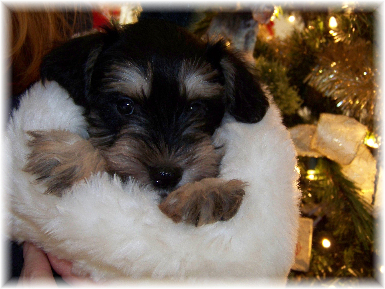 Miniature Schnauzer Puppies In Georgia Tennessee Alabama Miniature Schnauzer Puppies Mini Schnauzer Schnauzer Puppy