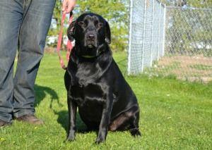 Adopt Jesse On Labrador Retriever Dog Retriever Dog Labrador